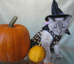 Halloween Costumed Cat