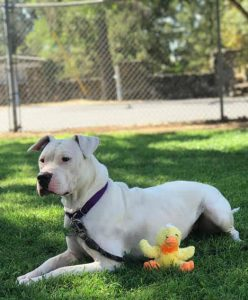 image of a white and black pit bull mix outside in the grass next to a yellow duck toy